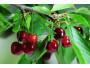 Le proprietà della composta di ciliegie